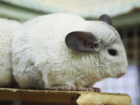 chinchilla: chinchilla cage