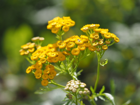 garden staff: tansy in the forest Stock Photo