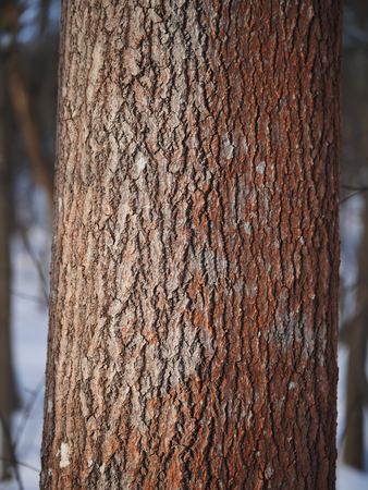 tree detail: aspen trunk in the forest