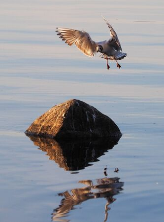 webbed: seagull on the lake