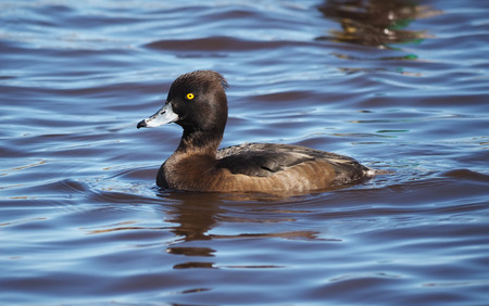 tufted: tufted duck on the lake