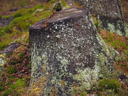 thick growth: overgrown tree stump in the forest