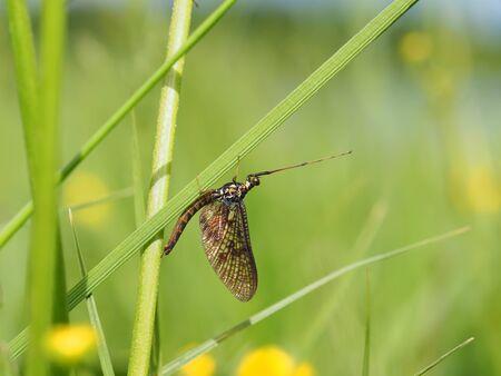 ephemera: closeup of mayfly (Ephemeroptera) on leaf Stock Photo