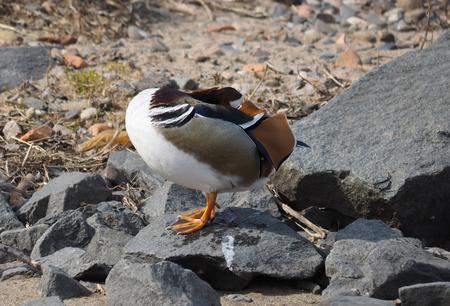 mandarina: mandarin duck on the lake Stock Photo