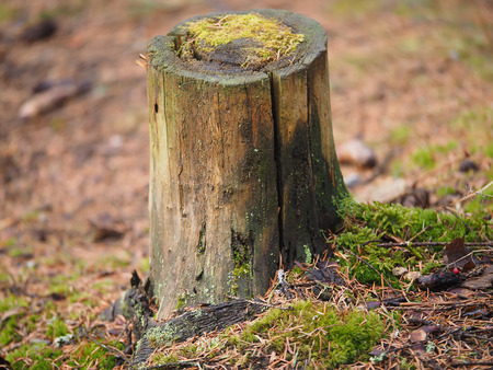 overgrown: overgrown tree stump in the forest