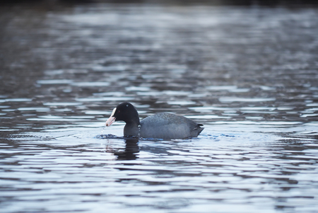 coot: Rare bird coot on the lake