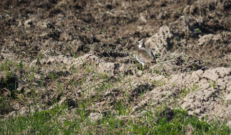 lapwing: Lapwing in flight Stock Photo