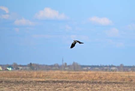 lapwing: Lapwing in flight Stock Photo