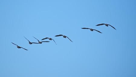 Geese in flight Imagens