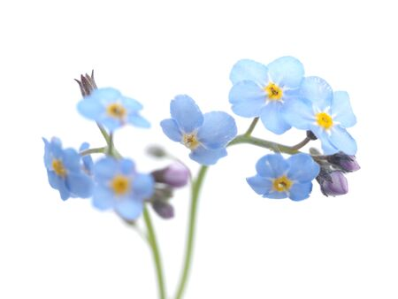 blue water: forget-me-nots flowers on a white background