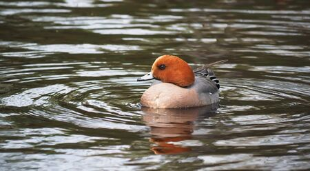 anas: wigeon duck (Anas penelope) on the river Stock Photo