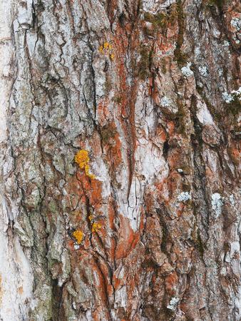 cottonwood tree: lichen on the bark of a poplar. background