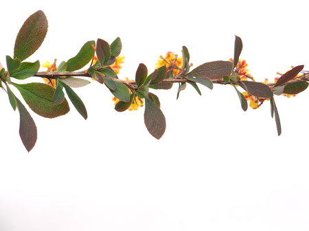 barberry: barberry flowers on a white background