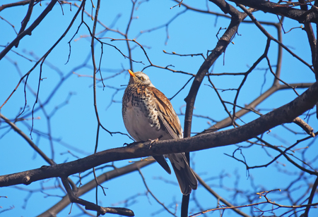 thrush: Thrush Fieldfare on a tree in the forest