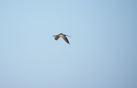 cryptic: Curlew in flight Stock Photo