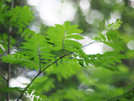 eberesche: rowan leaves in the forest