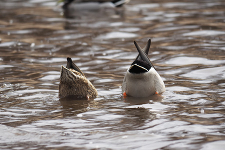 upside: ducks upside down in a lake