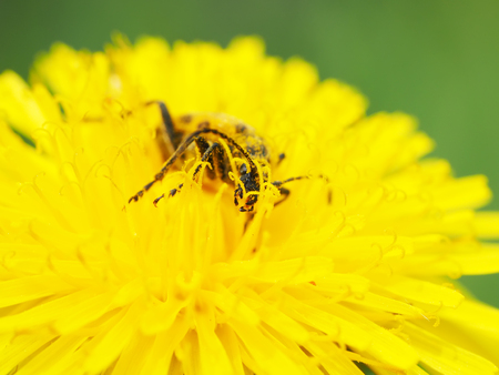 insecta: beetle longhorn beetle on a flower