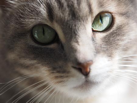 gray cat: Portrait of a gray cat