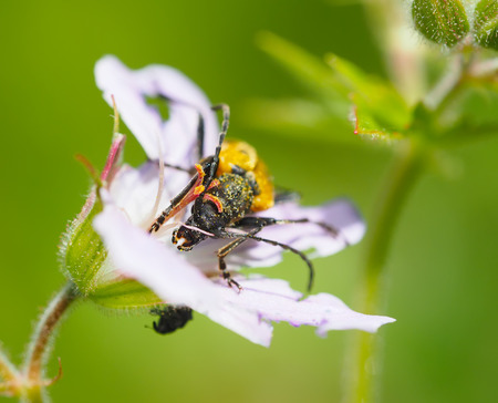 longhorn: beetle longhorn beetle on a flower