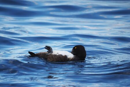 tufted: Tufted Duck cleaned on a lake