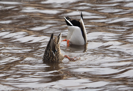 chasing tail: ducks upside down in a lake