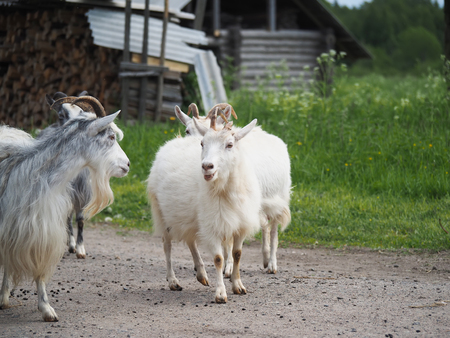beast ranch: goats in the village