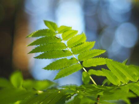 rowan: rowan leaves in the forest