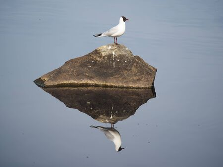 free dive: Seagull on the lake