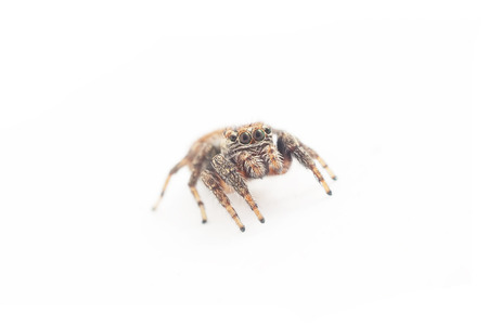 jumping spider on a white background Stock Photo