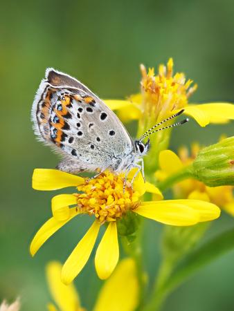 goldenrod: copper-butterfly on goldenrod