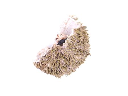 echinoderm: dry sea urchin on white background