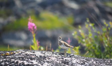 Sandpiper bird on a rock