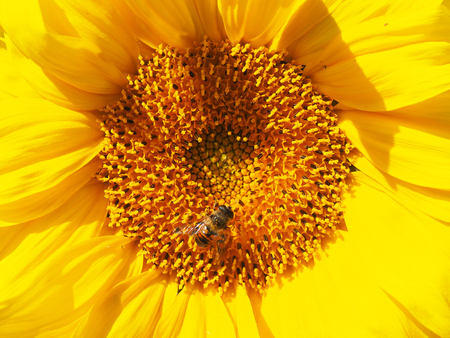 fly hoverfly on a sunflower