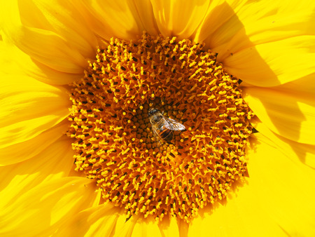 syrphidae: fly hoverfly on a sunflower