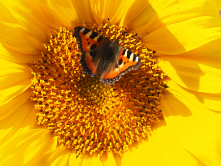 giant sunflower: butterfly on yellow flower