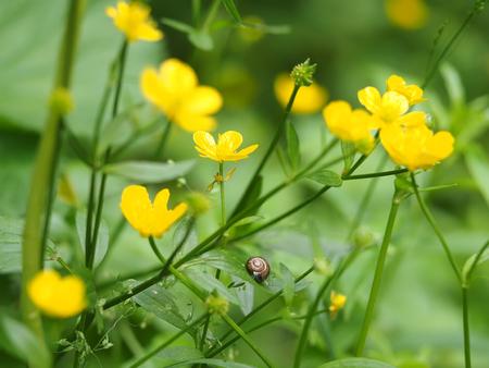 caracol en botón de oro amarillo