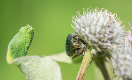 scarabaeidae: chafer insect on a flower