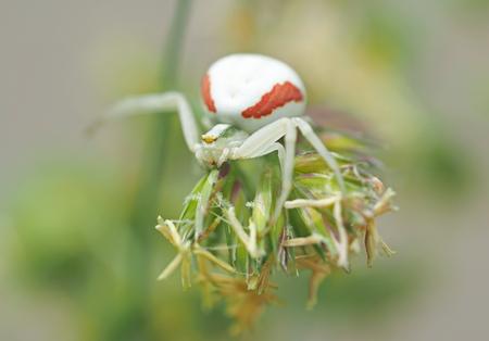 nursery web spider: white spider in the forest