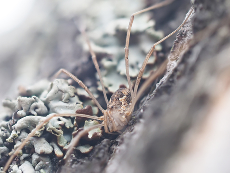arachnida: harvestman spider on tree bark