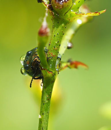 beetles: Beetles in droplets on a yellow flower