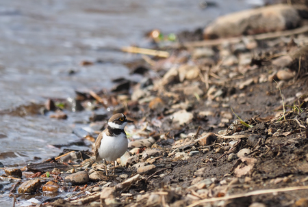 plover: little ringed plover on the river bank