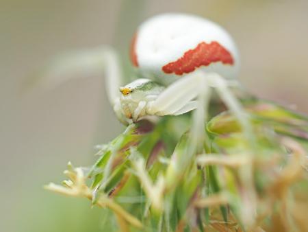 pisaura mirabilis: white spider in the forest