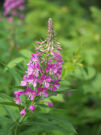 fireweed: fireweed in the forest
