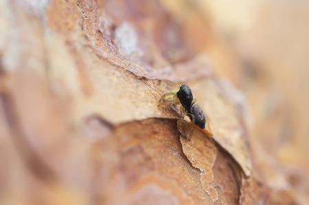 philodromus: Spider on a pine bark Stock Photo