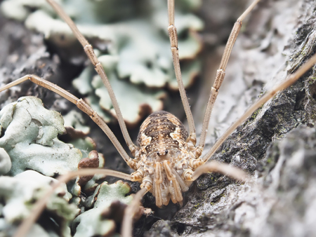 harvestman: harvestman spider on tree bark
