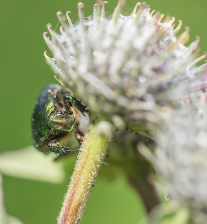chafer insect on a flower