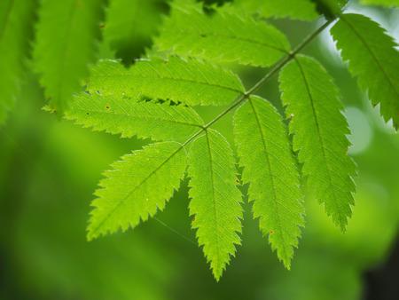 eberesche: Rowan Blätter im Wald Lizenzfreie Bilder
