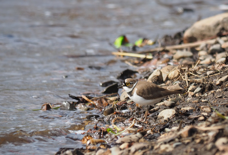 ringed: little ringed plover on the river bank