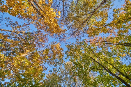 bole: the trees in the fall from the bottom up Stock Photo